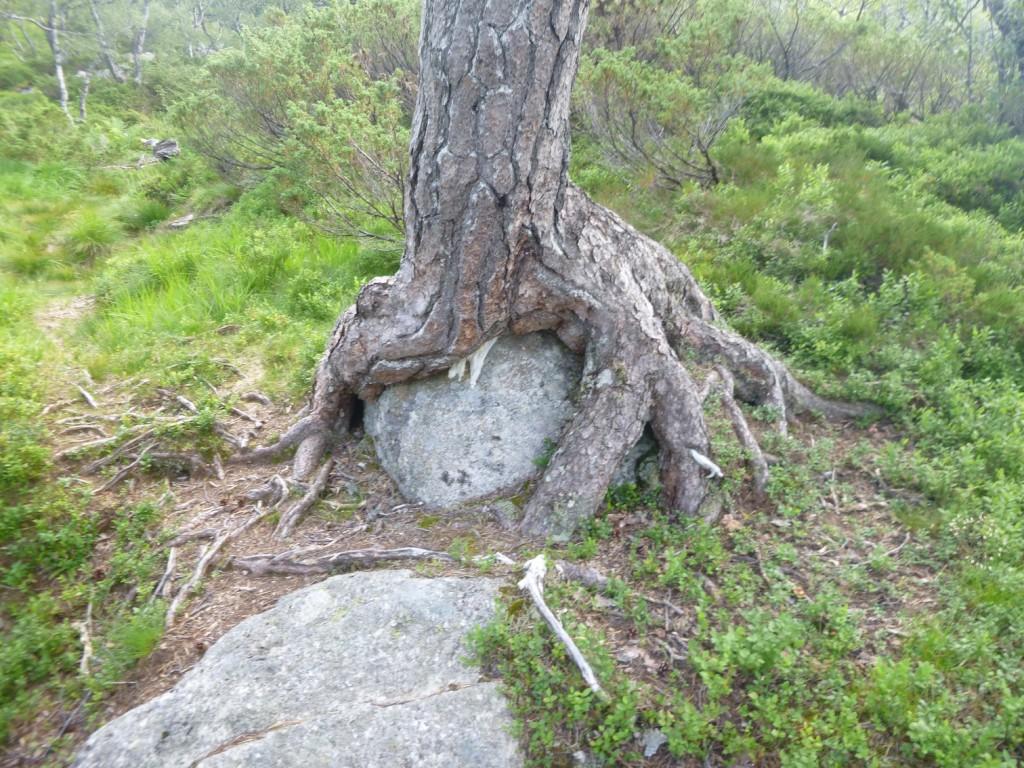 Treet har slått rot rundt steinen her