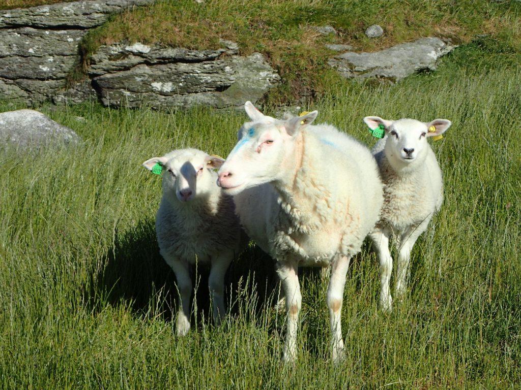 Og så traff vi på tre hyggelige sauer / lam