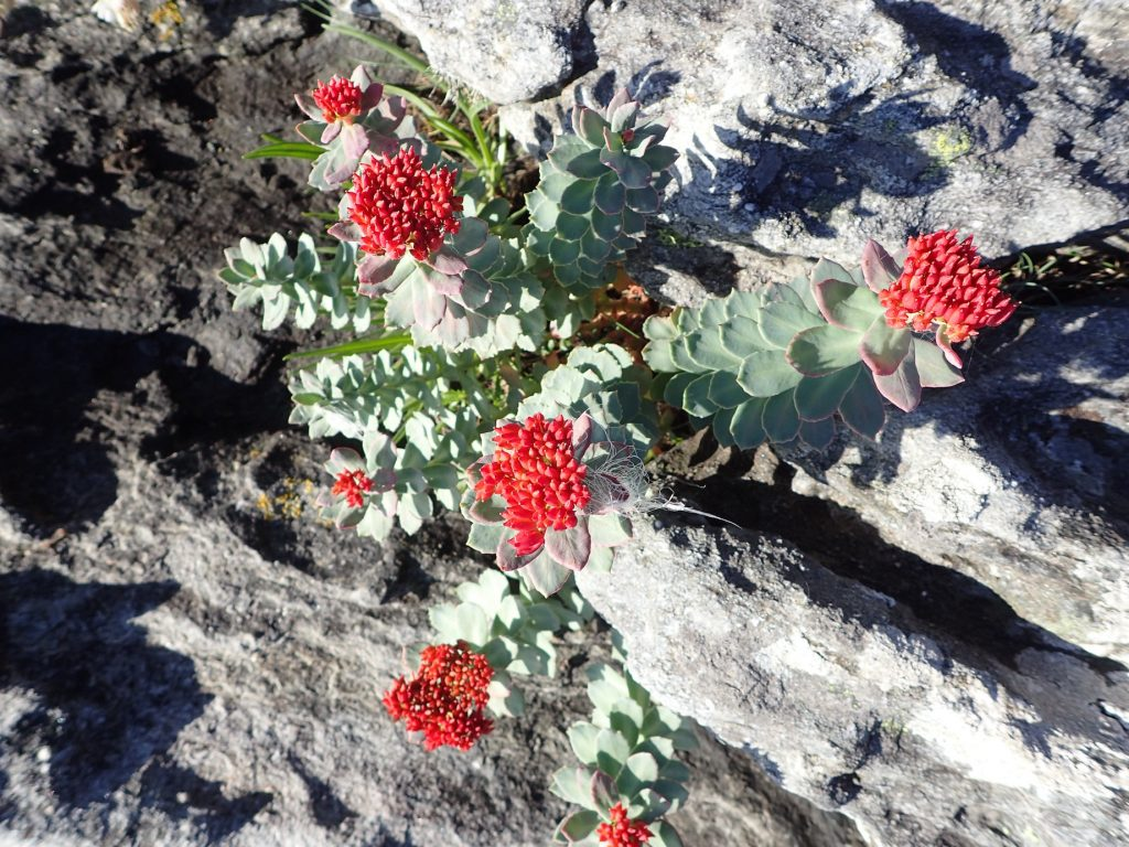 Noen planter karrer seg fast i bergsprekker